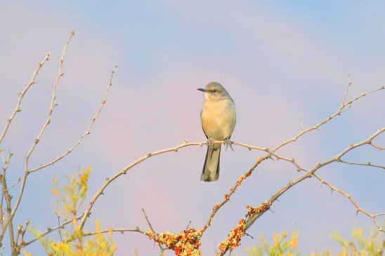 Northern Mockingbird 3