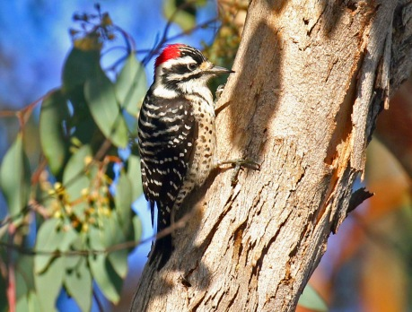 Nuttall's Woodpecker2
