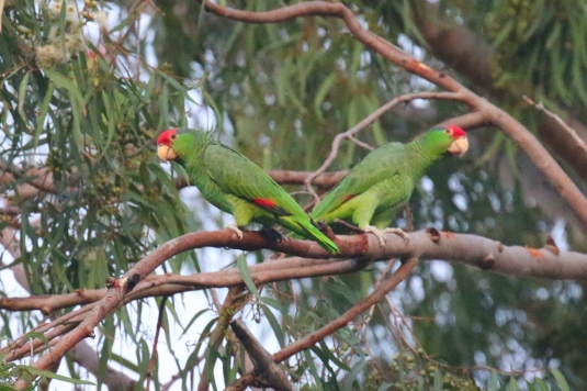 Red Crowned Parrots.jpg