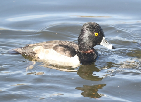 Ring Necked Duck.jpg