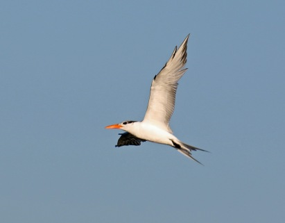 Royal Tern3