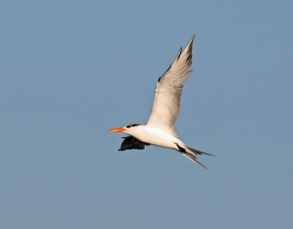 Royal Tern3