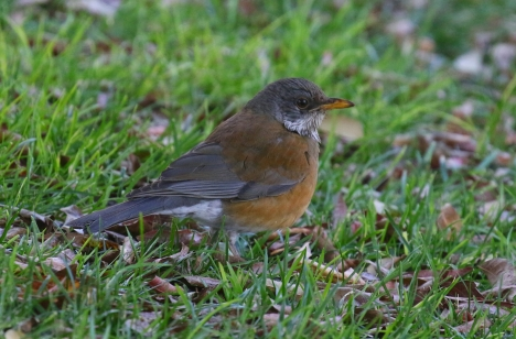 Rufous Backed Robin 2