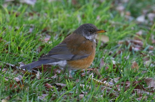 Rufous Backed Robin 2