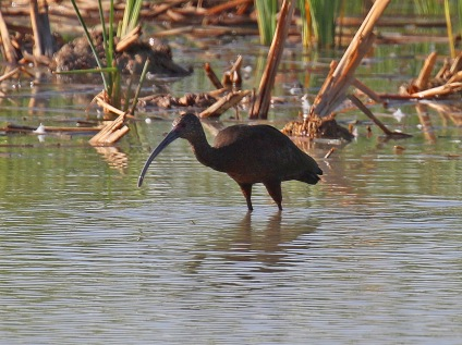 White Faced Ibis1