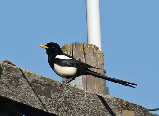 Yellow Billed Magpie1