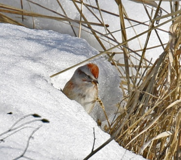 American Tree Sparrow in Snow