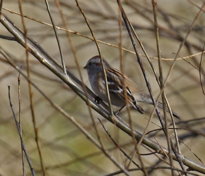 American Tree Sparrow1