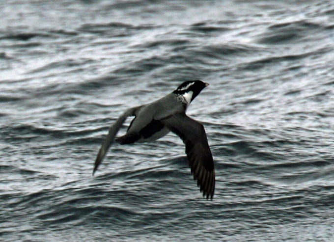 Ancient Murrelet (2)