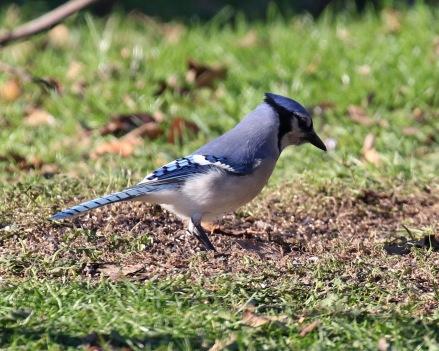 Blue Jay (2)