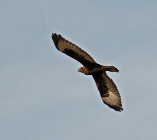 Dark Phase Rough Legged Hawk