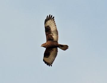 Dark Phase Rough Legged Hawk1