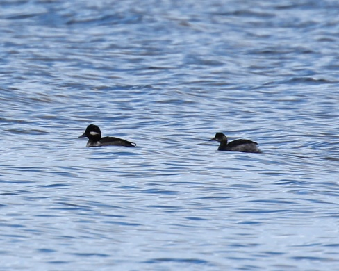 Eared Grebe and Bufflehead