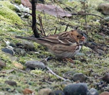 Harris's Sparrow1
