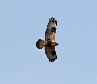 Light Phase Northern Rough Legged Hawk