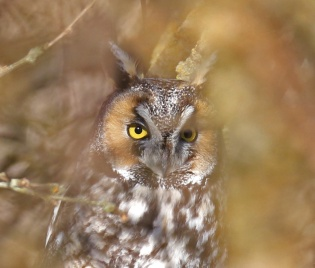 Long Eared Owl3