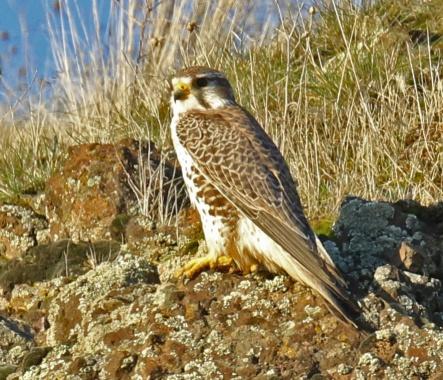 Prairie Falcon 3