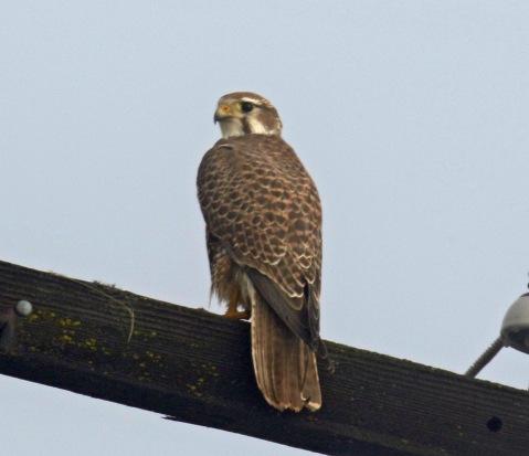 Prairie Falcon1