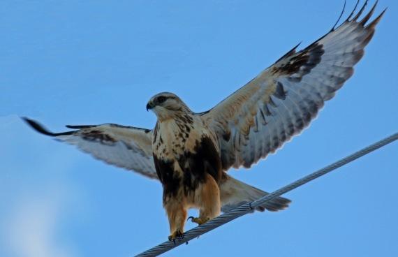 Rough Legged Hawk Wings Spread.jpg