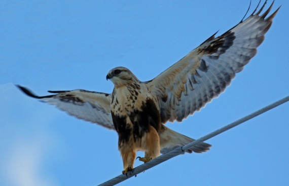 Rough Legged Hawk Wings Spread.jpg