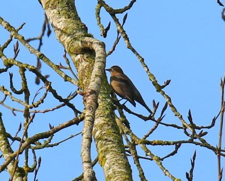 Rusty Blackbird1