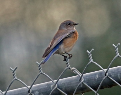 Western Bluebird1
