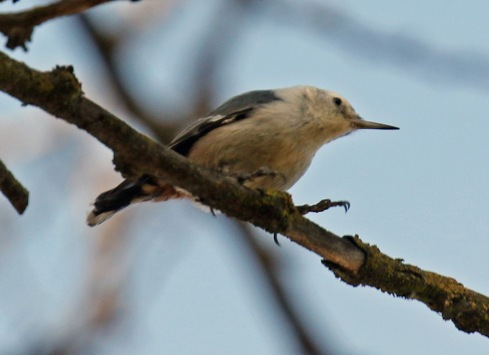 White Breasted Nuthatch1