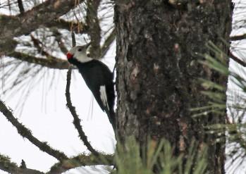 White Headed Woodpecker