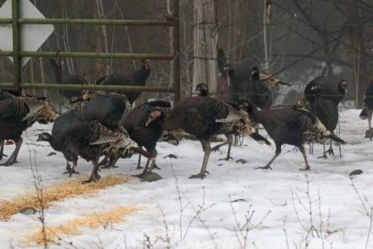 Wild Turkeys1