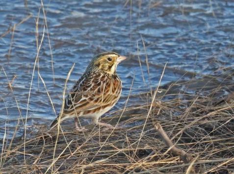 Baird's Sparrow R - Copy