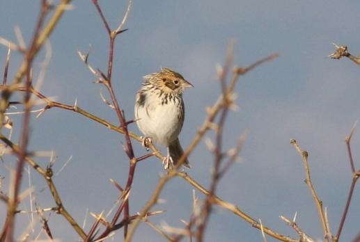 Baird's Sparrow6-1 - Copy