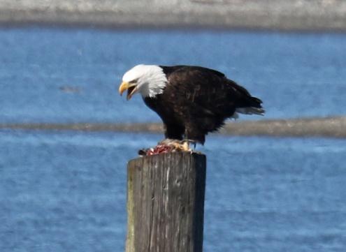 Bald Eagle Eating Pintail