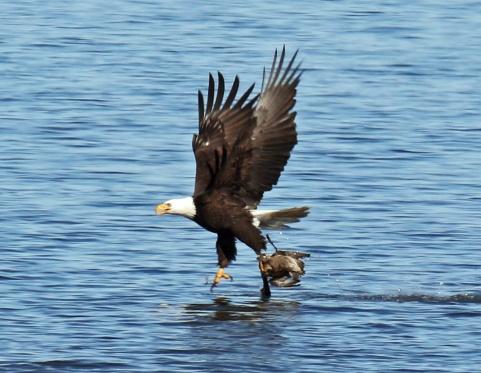 Bald eagle taking Pintail2