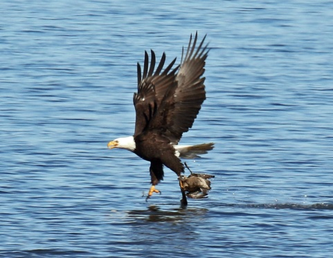 Bald eagle taking Pintail2