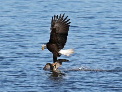 Bald Eagle taking Pintail4