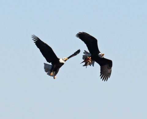 Bald Eagles with Pintail