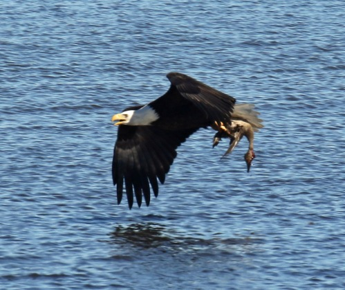 Bald Eagles with Pintail2