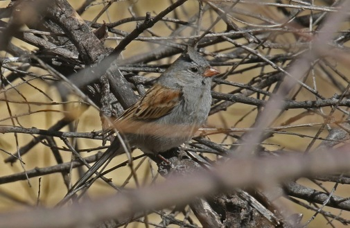 Black Chinned Sparrow-1 - Copy