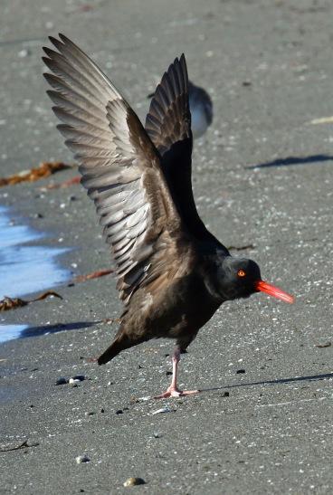 Black Oystercatcher Wings