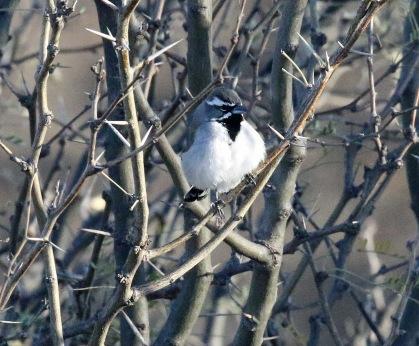 Black Throated Sparrow - Copy