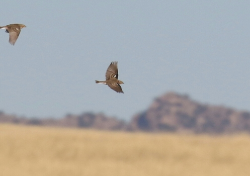Chestnut Longspur Flight-1