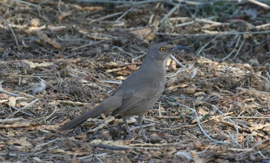 Curve Billed Thrasher1-1