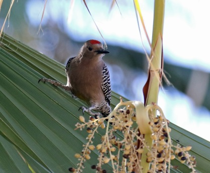 Gila Woodpecker1.jpg