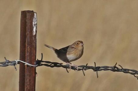 Grasshopper Sparrow1-1