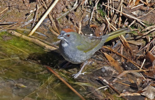 Green Tailed Towhee-1