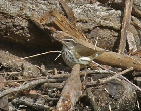 Louisiana Waterthrush-1a - Copy