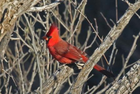 Northern Cardinal-1 (2)