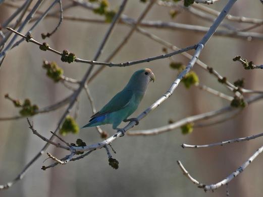 Rosy Faced Lovebird Blue