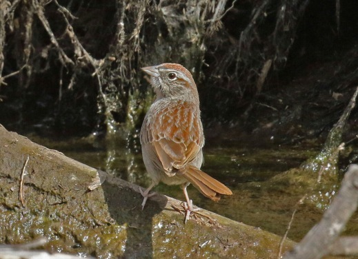 Rufous Crowned Sparrow-1