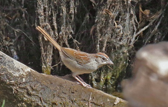 Rufous Crowned Sparrow1-1